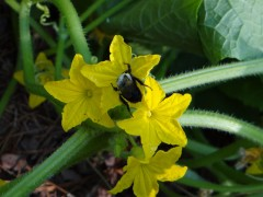 bee-on-male-cucumber-flower-cluster